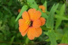 Flor anaranjada Yacanto