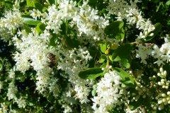 Flores Yacanto